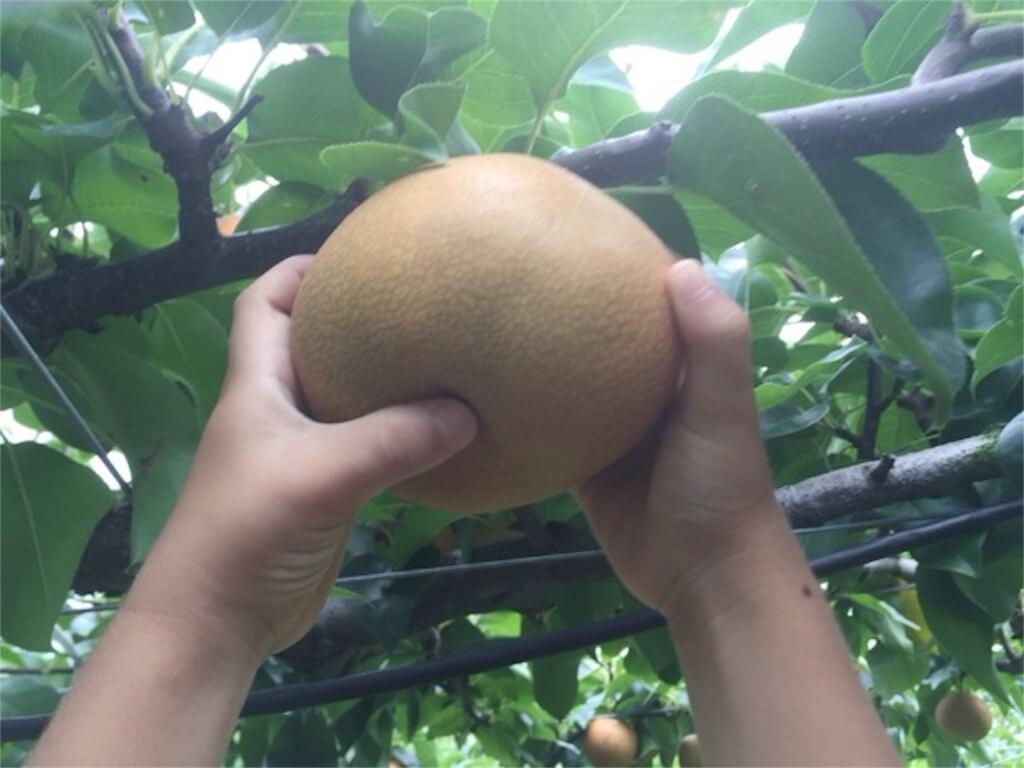 豊水梨の収穫