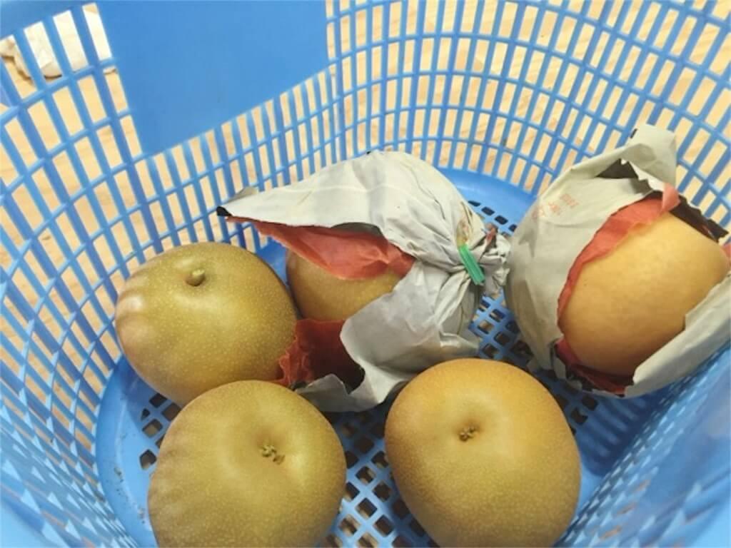 収穫した梨