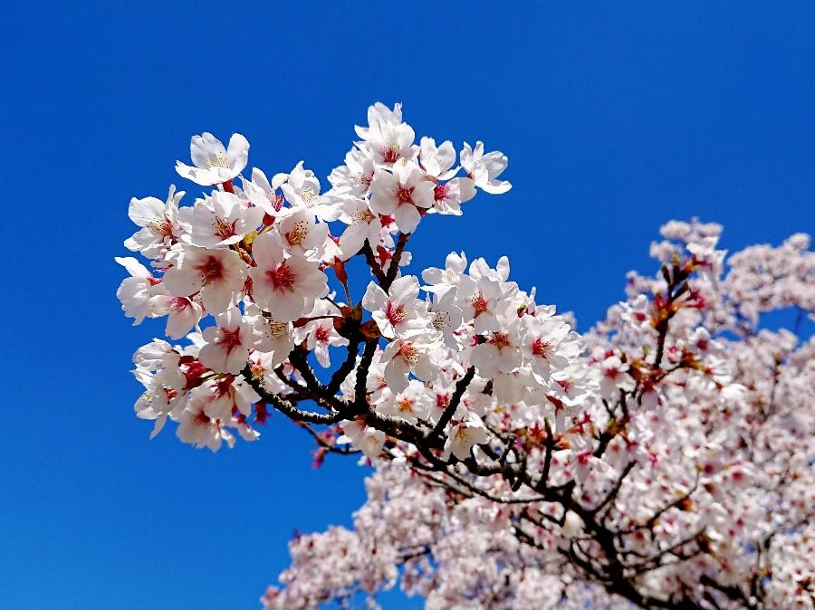 桜 満開のさくらと青空