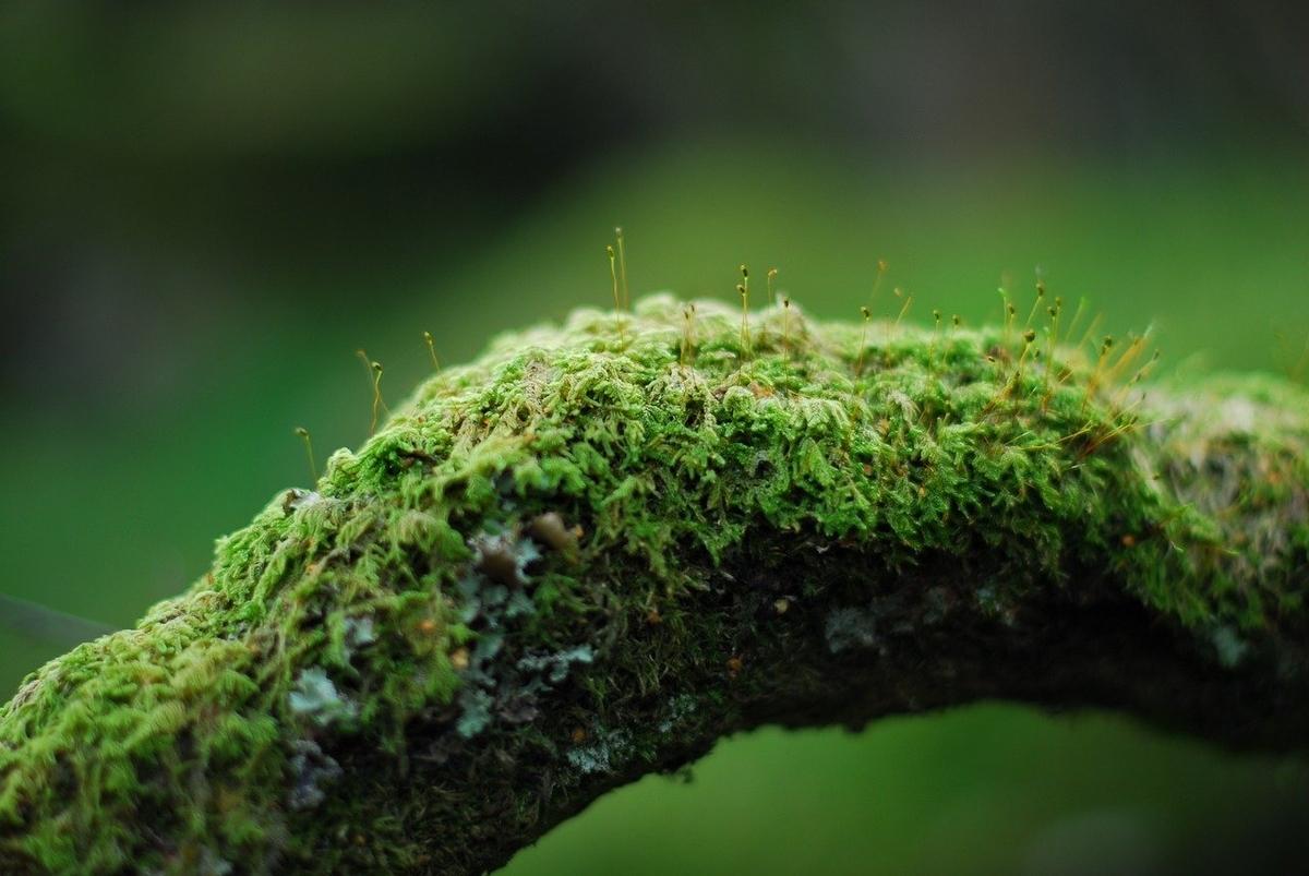 木に生育している苔