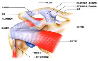 回旋筋腱板