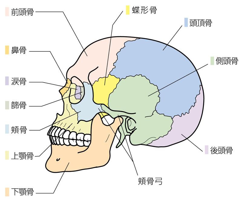 頭部の骨格
