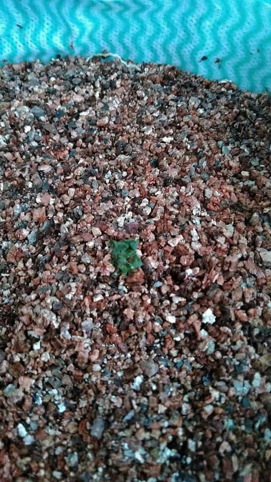 時期外れジャガイモの水耕栽培
