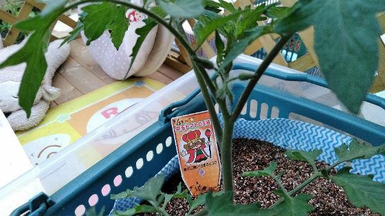 トマトの水耕栽培と蕾