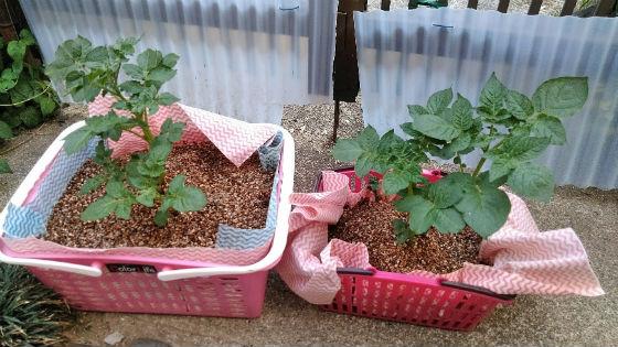 5月3日のジャガイモの水耕栽培