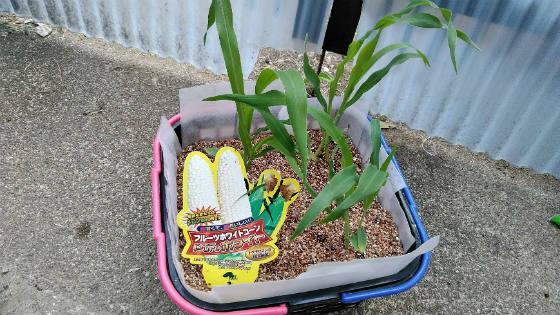 5月3日トウモロコシの水耕栽培
