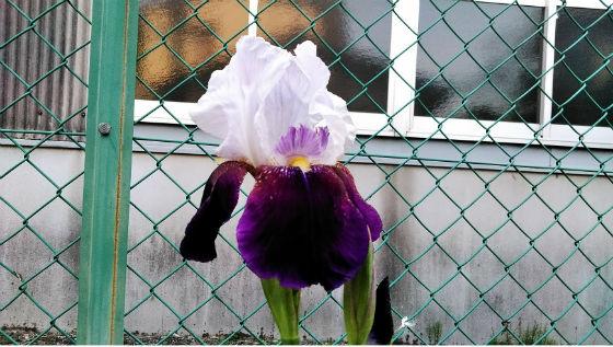 うちで唯一のお花