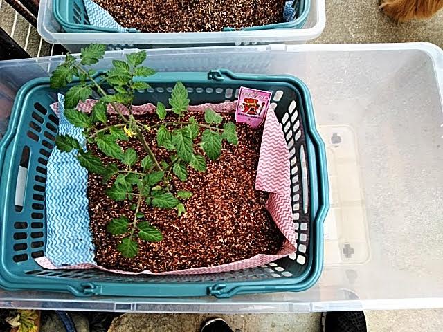 5月6日 トマトに液肥補充トレー