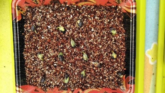 枝豆の芽出し