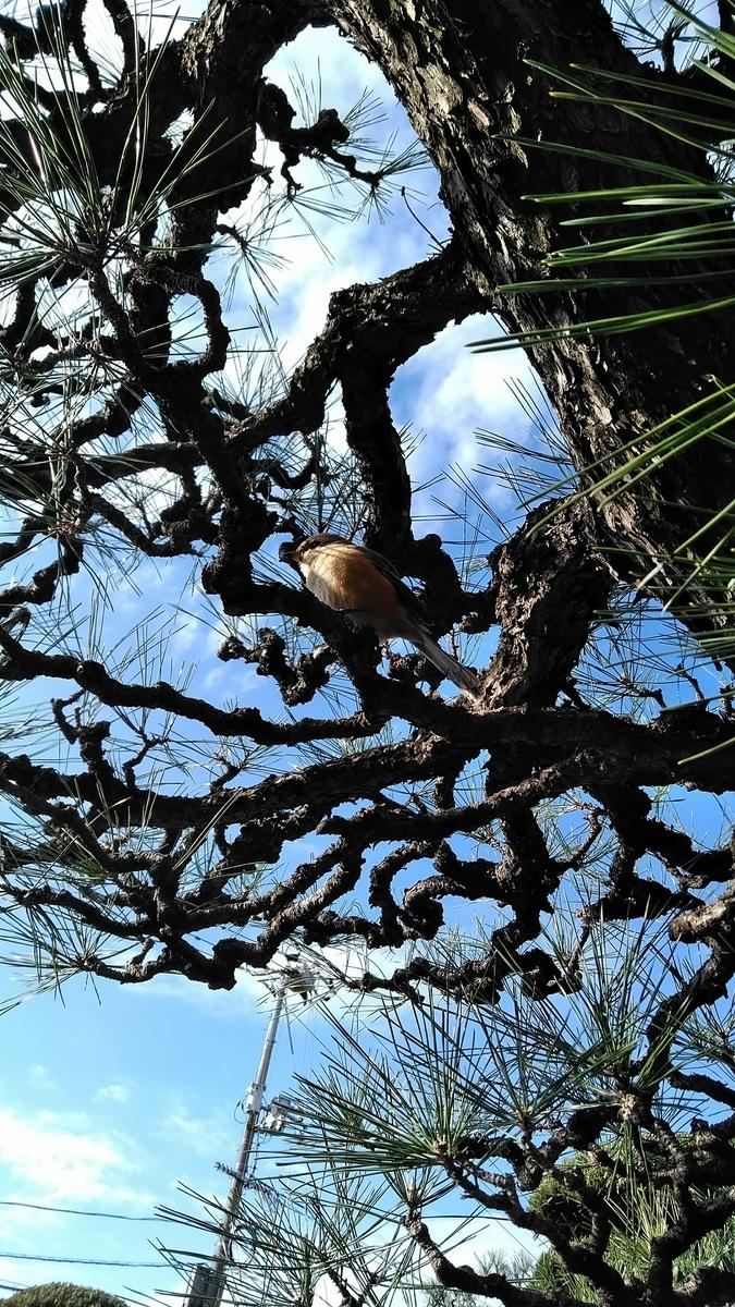 松の木の百舌鳥