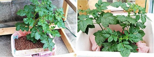 5月18日のジャガイモの水耕栽培の様子