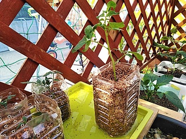 5月19日BUNCH POTATOの栽培開始