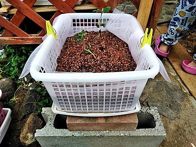 5月6日 枝豆に液肥補充トレー