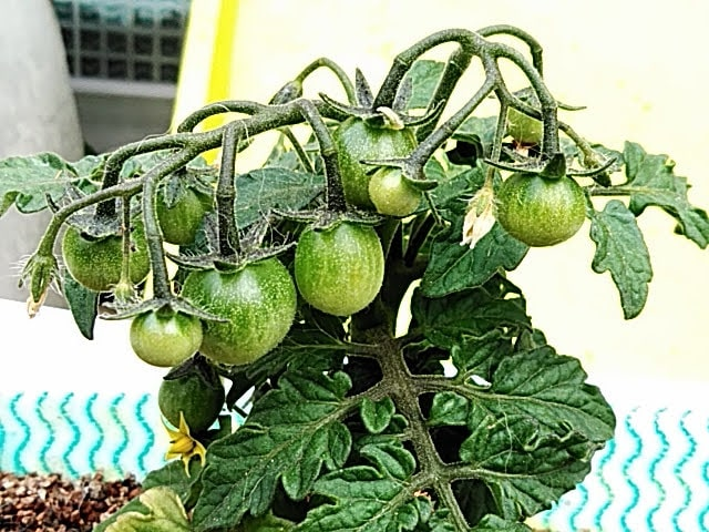 5月18日処分トマトの様子