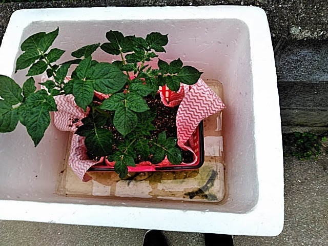 5月6日 ジャガイモに液肥補充コンテナ