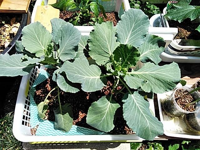 5月21日水耕栽培のキャベツの苗