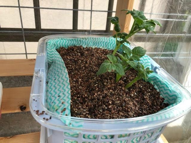 5月11日の時期外れジャガイモの苗の水耕栽培の様子