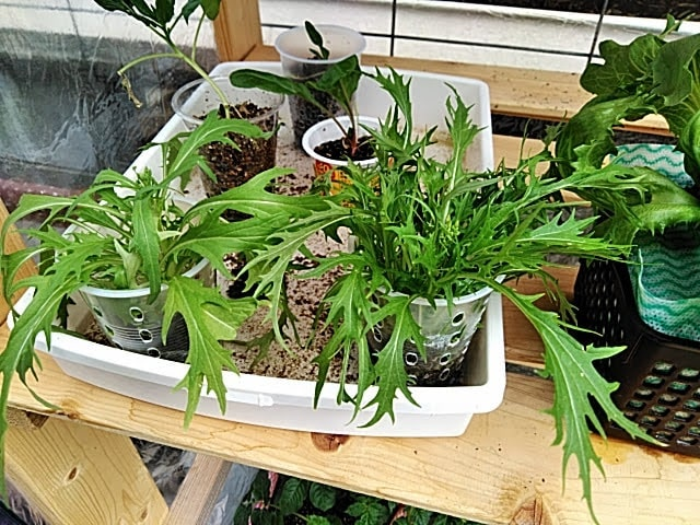 5月14日水耕栽培の水菜の様子
