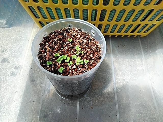 5月14日に種を蒔いたものが発芽