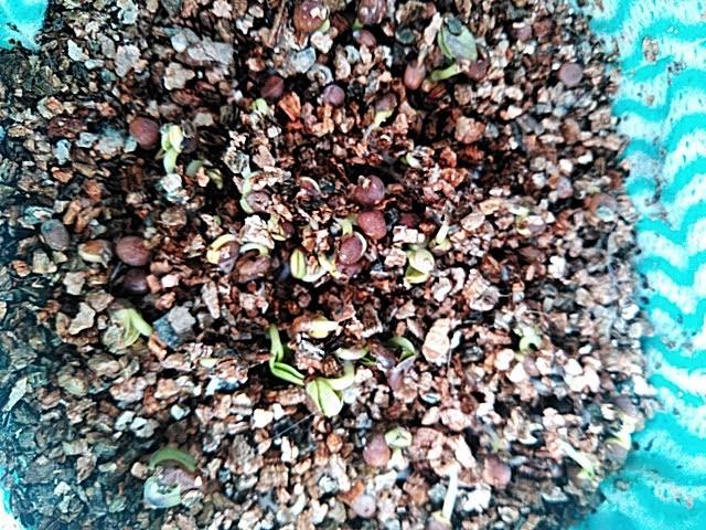 5月19日の水耕栽培カイワレ大根の発芽の様子