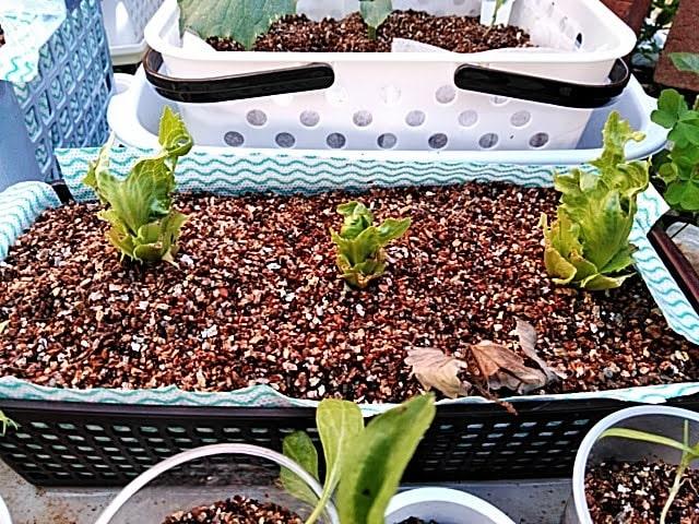 5月8日成長を始めた水耕栽培レタス