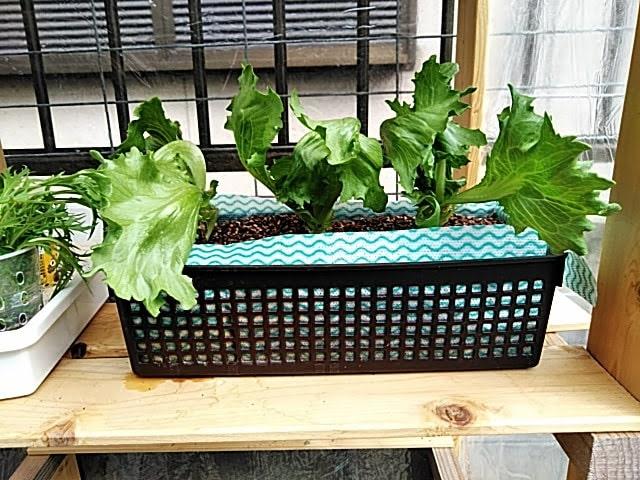 5月14日水耕栽培レタスの様子