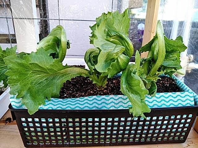 5月17日の水耕栽培レタスの様子