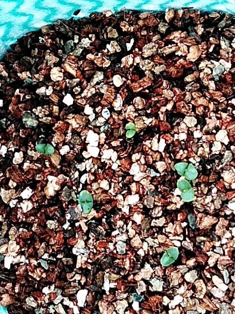 5月18日水耕栽培バジルの発芽