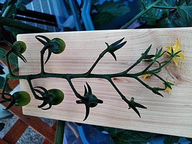 5月21日水耕栽培ミニトマトの第一房