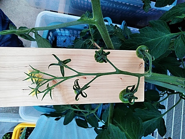 5月21日水耕栽培中玉トマトの第一房