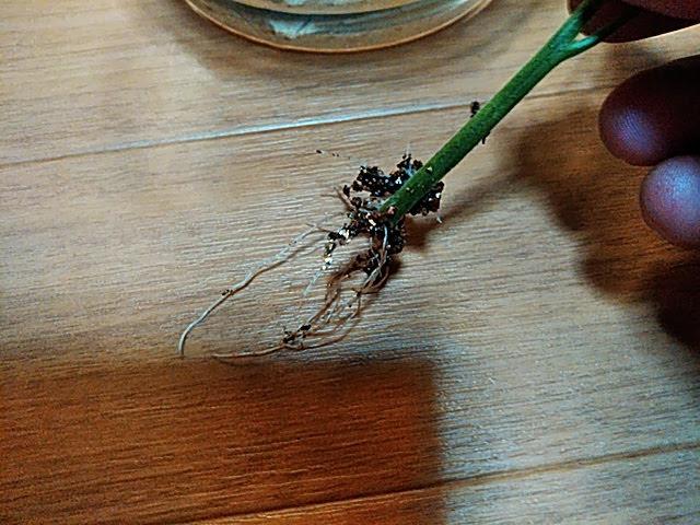 5月23日最初のBUNCHの苗からひげ根