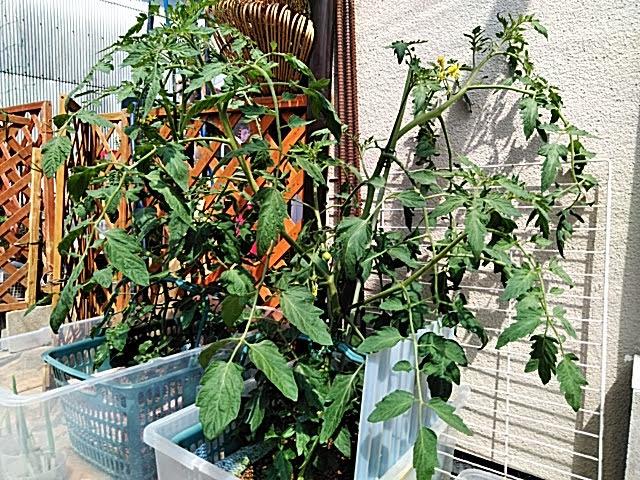 5月25日水耕栽培トマトの様子