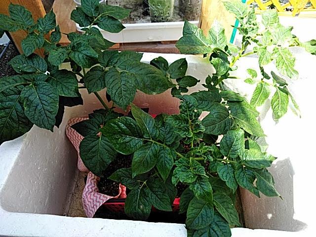 5月25日の水耕栽培ジャガイモの様子