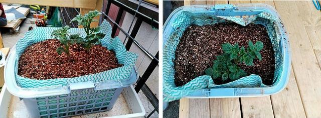 5月27日の水耕栽培ジャガイモの様子