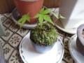 [盆栽]楓の苔玉