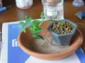 [盆栽]針金イチョウ1