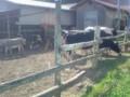 [日記] 牛1
