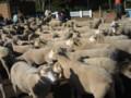 [日記] 羊