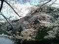 [散歩] 2013年3月28日、北の丸公園のお濠にて