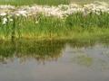 [散歩] 久喜市菖蒲にて。雨あがりの水たまりに花影