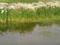 久喜市菖蒲にて。雨あがりの水たまりに花影