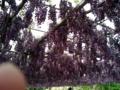 [散歩][旅行]2014年5月4日、あしかがフラワーパーク。