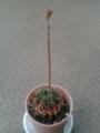 [その他] 2014年6月14日、なぞサボテンの花に蕾が!
