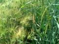 [散歩] 2015/05/04、森林公園の「ハーブ園」。大麦と小麦