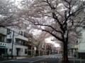 [散歩]2016/04/03、近所の桜並木