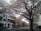 2016/04/03、近所の桜並木