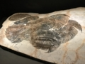 [museum]集団で交尾をしたまま窒息死したと思われる三葉虫