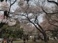 [行楽][散歩]2017/04/1、新宿御苑にて花見