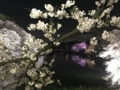 [散歩]2017/04/7、千鳥ヶ淵の夜桜
