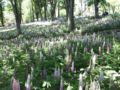 [散歩]2017/05/05、森林公園。ルピナスの花